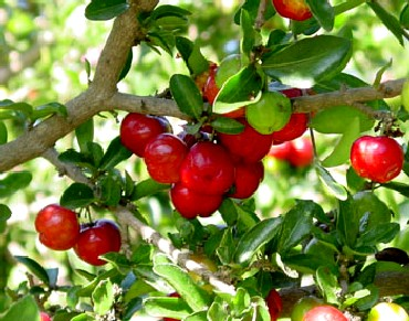 acerola-fruit-bio